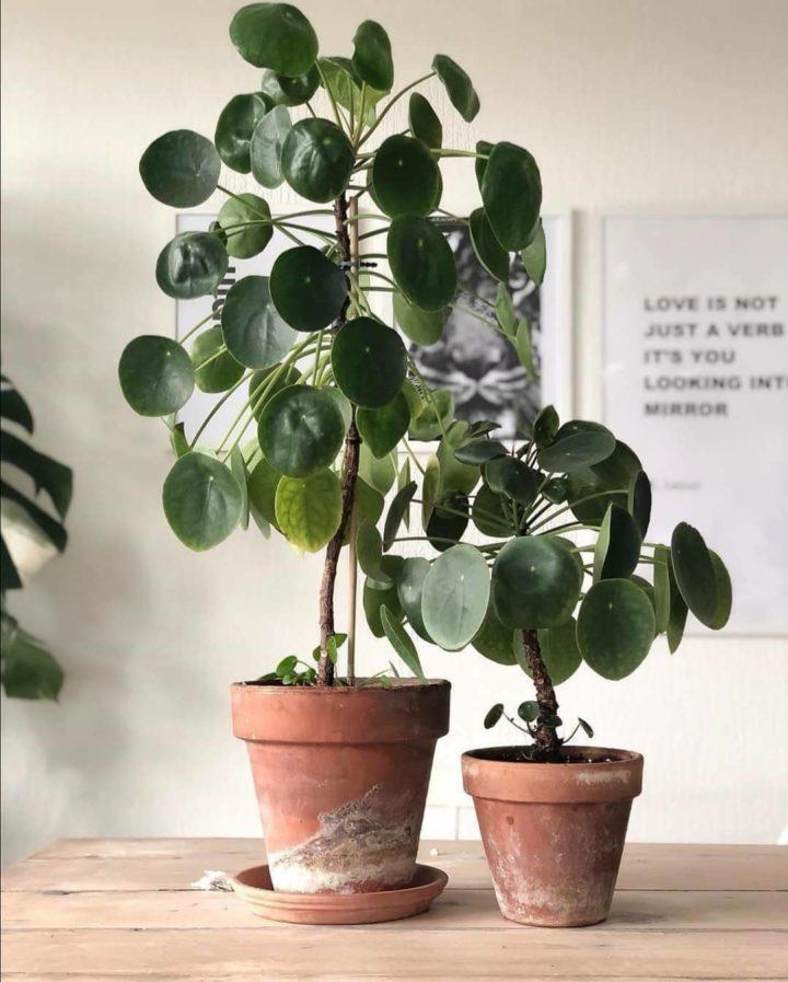 Pilea plants